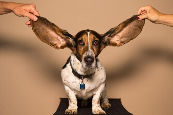 Dog with long ears